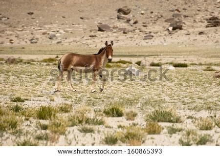 Tibetan wild donkey at highland pasturage. Himalaya mountains landscape. India, Ladakh, altitude 4600m - stock photo
