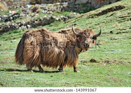 Tibetan yak - stock photo