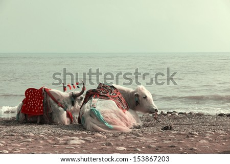 Tibetan yak at the lake - stock photo