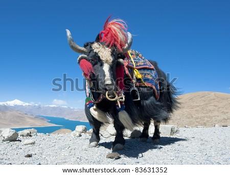 Tibetan yak with mountain background - stock photo