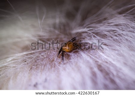 Tick biting on the skin of a dog - stock photo