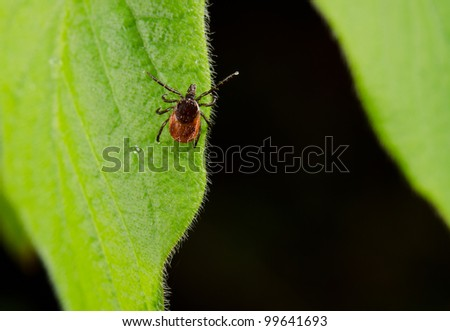 tick clings to fresh leaf - stock photo