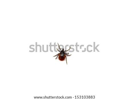 tick isolated on white. - stock photo