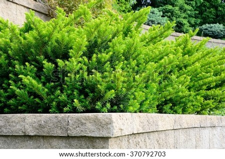 Tiered Retaining Wall with Yew (Taxus) Evergreen Shrubs - stock photo