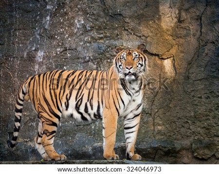 tiger action - stock photo