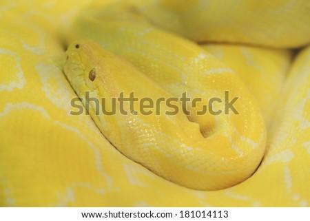 Tiger albino python snake, yellow viper - stock photo