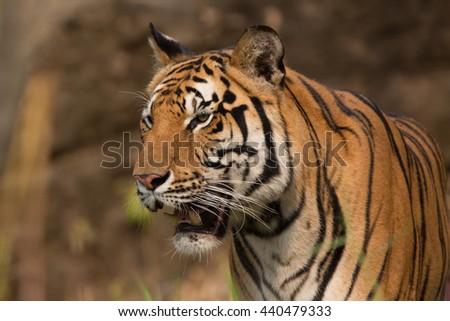 tiger at the zoo thailand. - stock photo