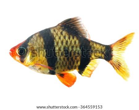 Tiger barb or Sumatra barb fish isolated - stock photo