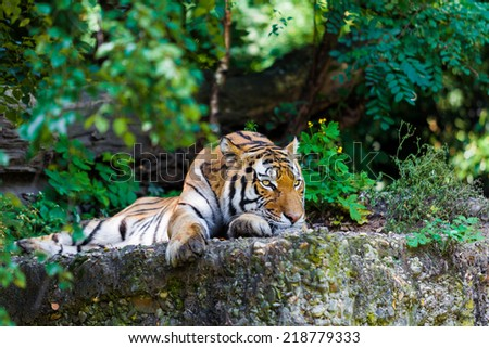 Tiger. Beautiful Tiger Portrait - stock photo