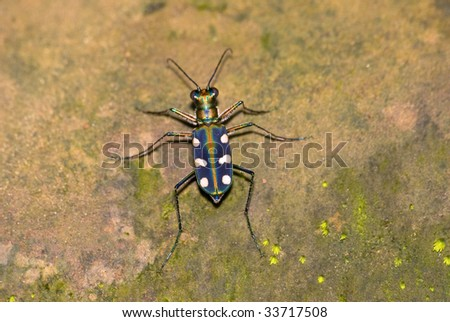 tiger beetle  rest on rock - stock photo