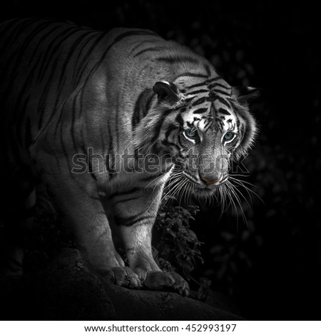 Tiger, Bengal tiger - stock photo