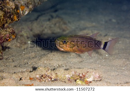 tiger cardinalfish (cheilodipterus macrodon) - stock photo