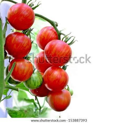 tiger cherry tomatoes on the vine - stock photo