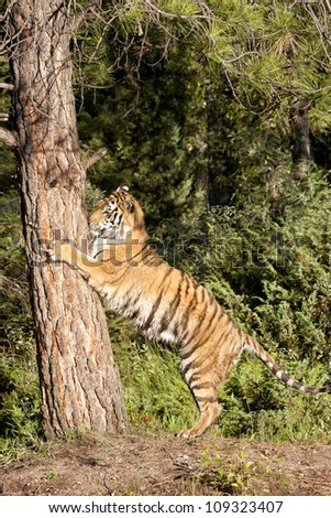 Tiger Climbing Tree - stock photo