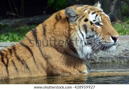 Tiger close up: The tiger (Panthera tigris) is the largest cat species. It is the third largest land carnivore (behind only the polar bear and the brown bear). - stock photo
