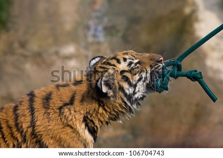 Tiger cub playing tug of war with a water hose. - stock photo