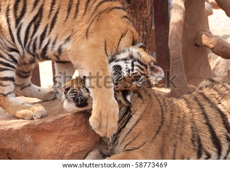 tiger cubs being affectionate in thailand - stock photo