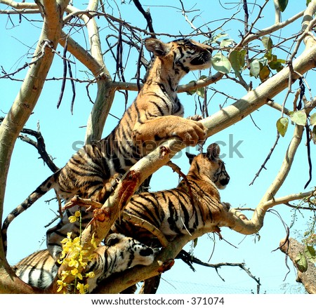 Tiger cubs playing on a tree in a zoo in Bhopal - stock photo