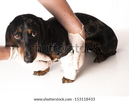 tiger dachshund with a bandage on his leg on a white background - stock photo