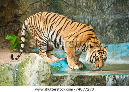 Tiger drinking water - stock photo