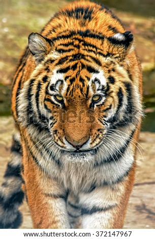 Tiger Eyes of Warning - stock photo