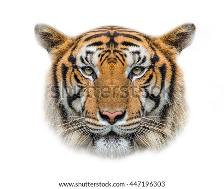 Tiger face isolated on white background. - stock photo