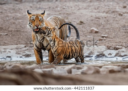 Tiger family are playing in the watter/wild animal in the nature habitat/India, love, cute, mom and cubs - stock photo