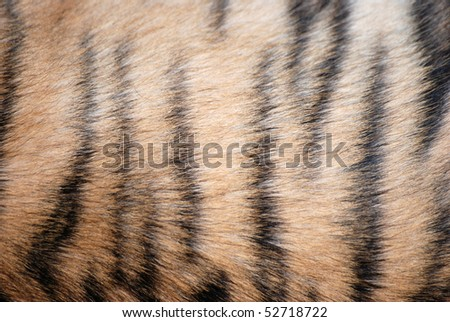 tiger fur texture - stock photo