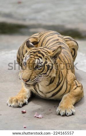 Tiger get his food at zoo. - stock photo