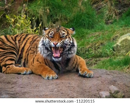 Tiger Growling - stock photo