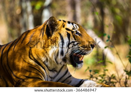 Tiger in a national park in India. These national treasures are now being protected, but due to urban growth they will never be able to roam India as they used to.  - stock photo