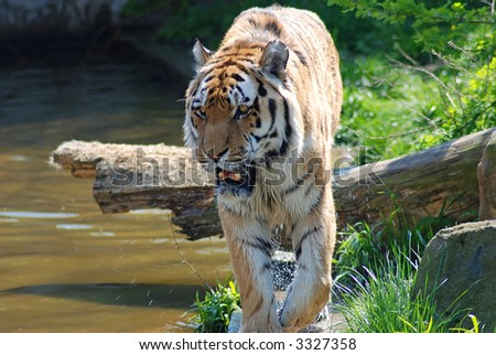 tiger in action - stock photo