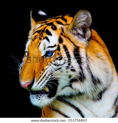 tiger in black background - stock photo