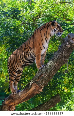 tiger in jungle on the tree - stock photo