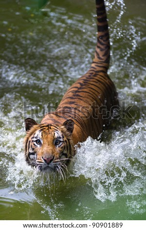 tiger in river staring at camera - stock photo