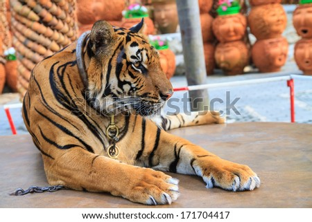Tiger in the park - stock photo