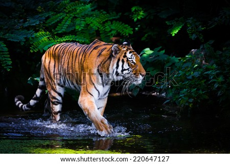 Tiger in water. - stock photo