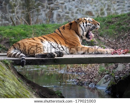 Tiger is eating meat - stock photo
