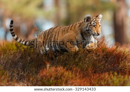 tiger is jumping - stock photo
