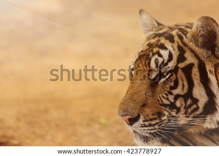 Tiger isolated on brown background./ close-up of a tiger - stock photo