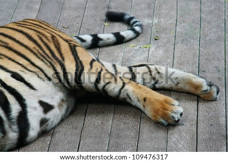 Tiger legs and tail - stock photo