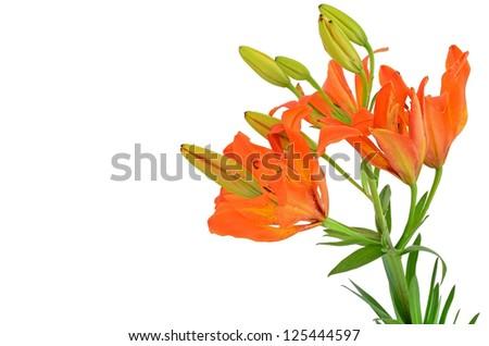 Tiger Lilium flower isolated on white background - stock photo