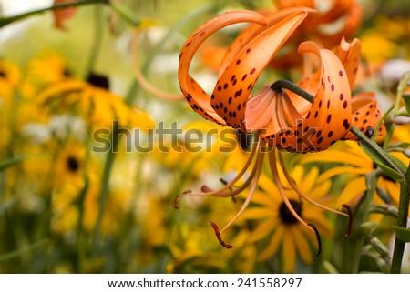 Tiger lily in garden. Lilium lancifolium. Orange tiger lily on yellow flowers background. Orange Lily. Orange flower in the garden. - stock photo