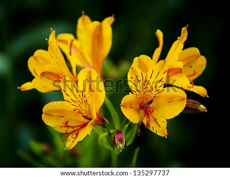 Tiger Lily in the South-West corner of Western Australia - stock photo