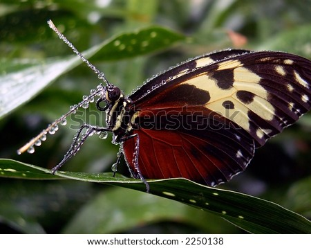 Tiger Longwing - stock photo