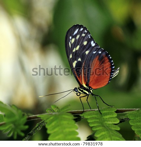 Tiger Longwing Butterfly. - stock photo