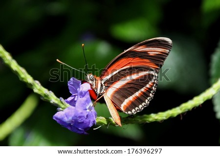 Tiger Butterfly Pictures Tiger Longwing Butterfly,aka