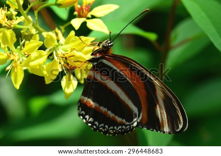 Tiger longwing  butterfly grabs a bite of nectar in the butterfly gardens. - stock photo