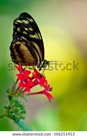 Tiger Longwing butterfly (heliconius hecale) feeding on red star flowers. Natural green and yellow background with copy space.  - stock photo