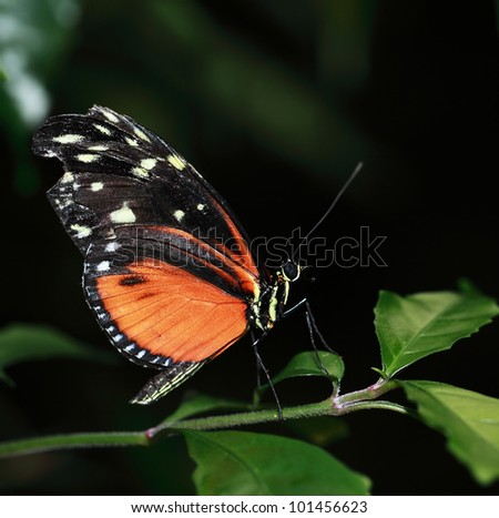 Tiger longwing butterfly on green plant - stock photo